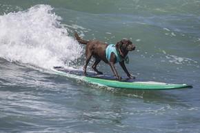Un labrador qui fait sur surf