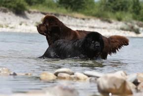 Un terre neuve noir et un marron qui se baignent