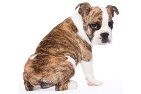Vermifuge chien