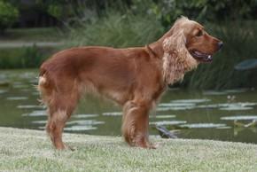 Welsh springer spaniel au bord de l eau