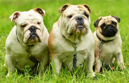 2 Bulldogs Anglais et un Carlin assis sur de l'herbe