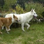 2 chiens de Canaan dans un jardin
