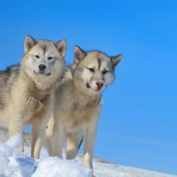 2 chiens du Groenland à la montagne