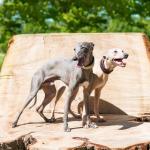 2 chiens Greyhound debout sur un tronc d'arbre