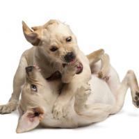 2 chiots labrador qui jouent