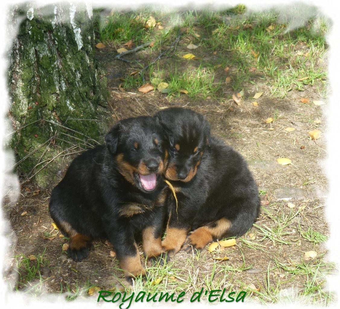2 femelles chiot Beaucerons de 3 semaines