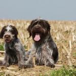 2 Griffons korthals couchés dans un champs