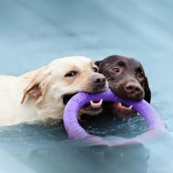 2 Labradors dans une piscine qui jouent avec un jouet flottant
