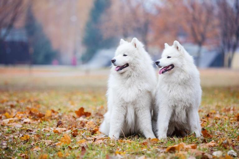 2 Samoyèdes assis dans un parc