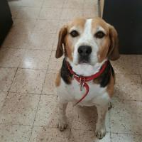Easy, petit Beagle de Lucie assis sur du carrelage