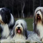 3 Bearded Collie assis ensemble