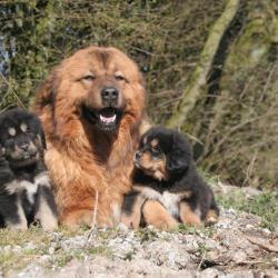 3 Dogues du Tibet couché dans la nature