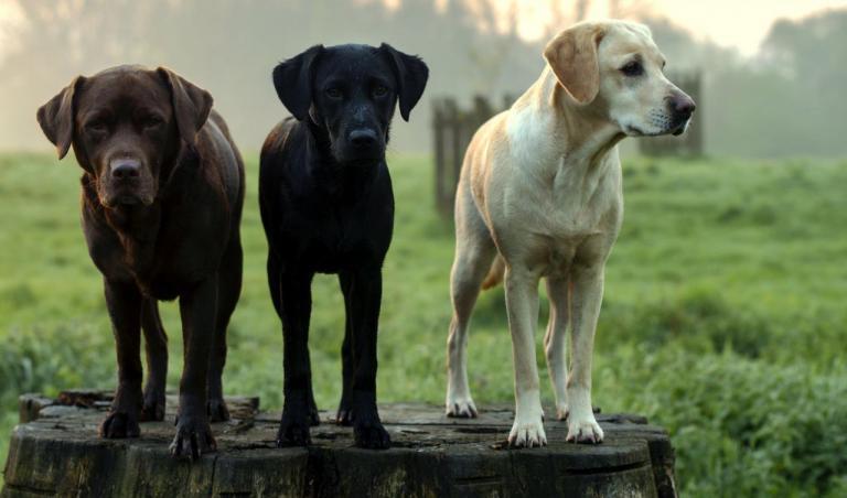 3 Labrador marron, sable et noir sur un tonneau