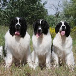 3 Landseer qui tirent la langue