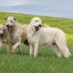 3 Lévriers Irlandais dans un champs
