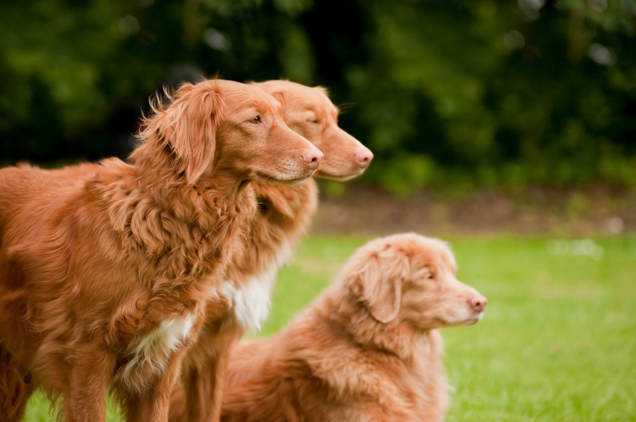 3 Retrievers de la Nouvelle-Ecosses
