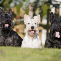 3 Terriers Ecossais assis sur l'herbe