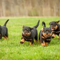 4 chiots Rottweiler qui courent sur l'herbe