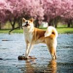 Akita Inu qui joue avec un bâton dans l'eau