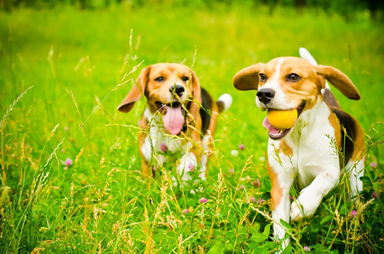 2 Beagles qui courent dans l'herbe avec une balle