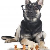 Berger allemand qui joue aux échecs