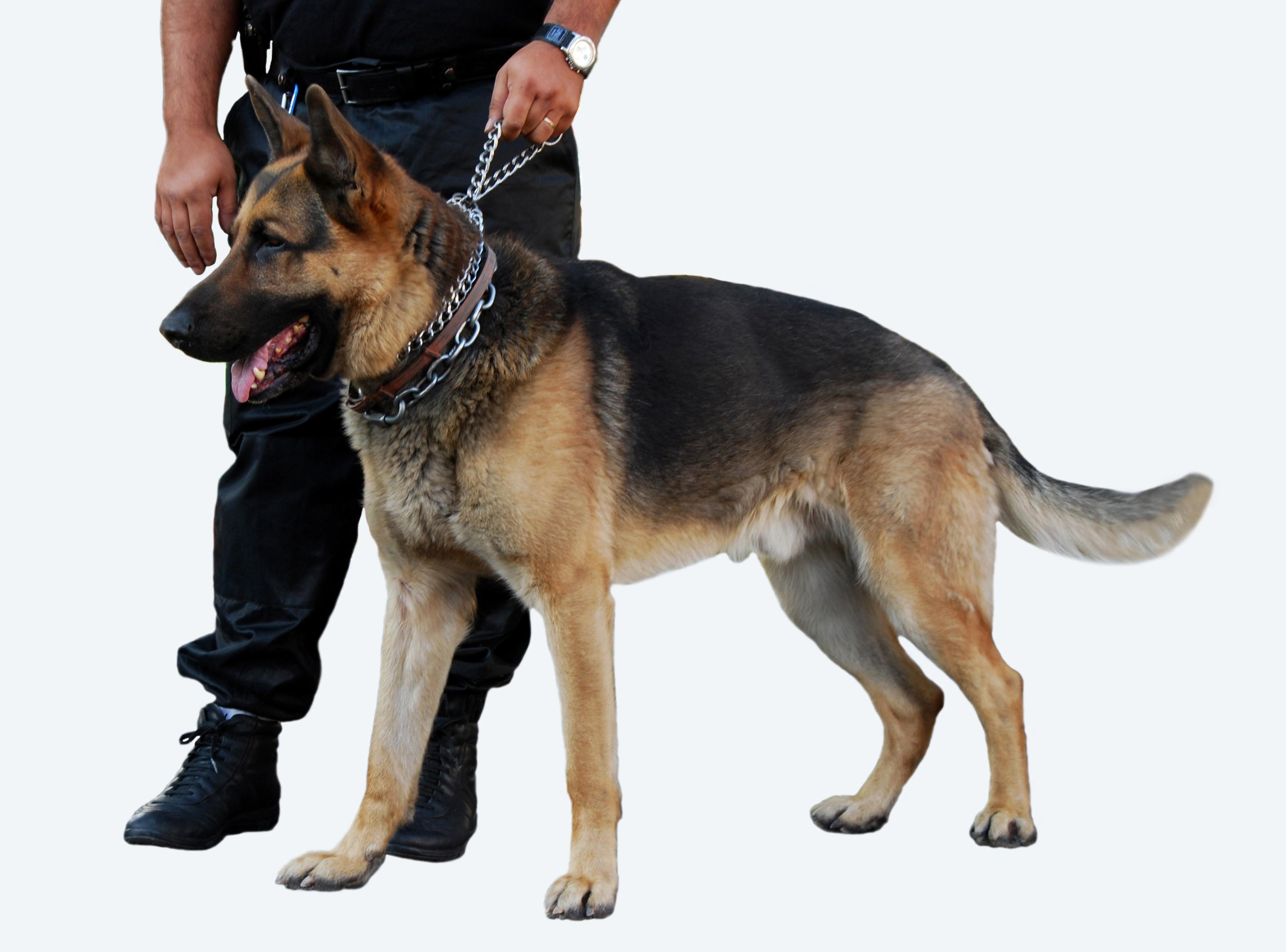 Berger allemand maitre adobestock 9670829