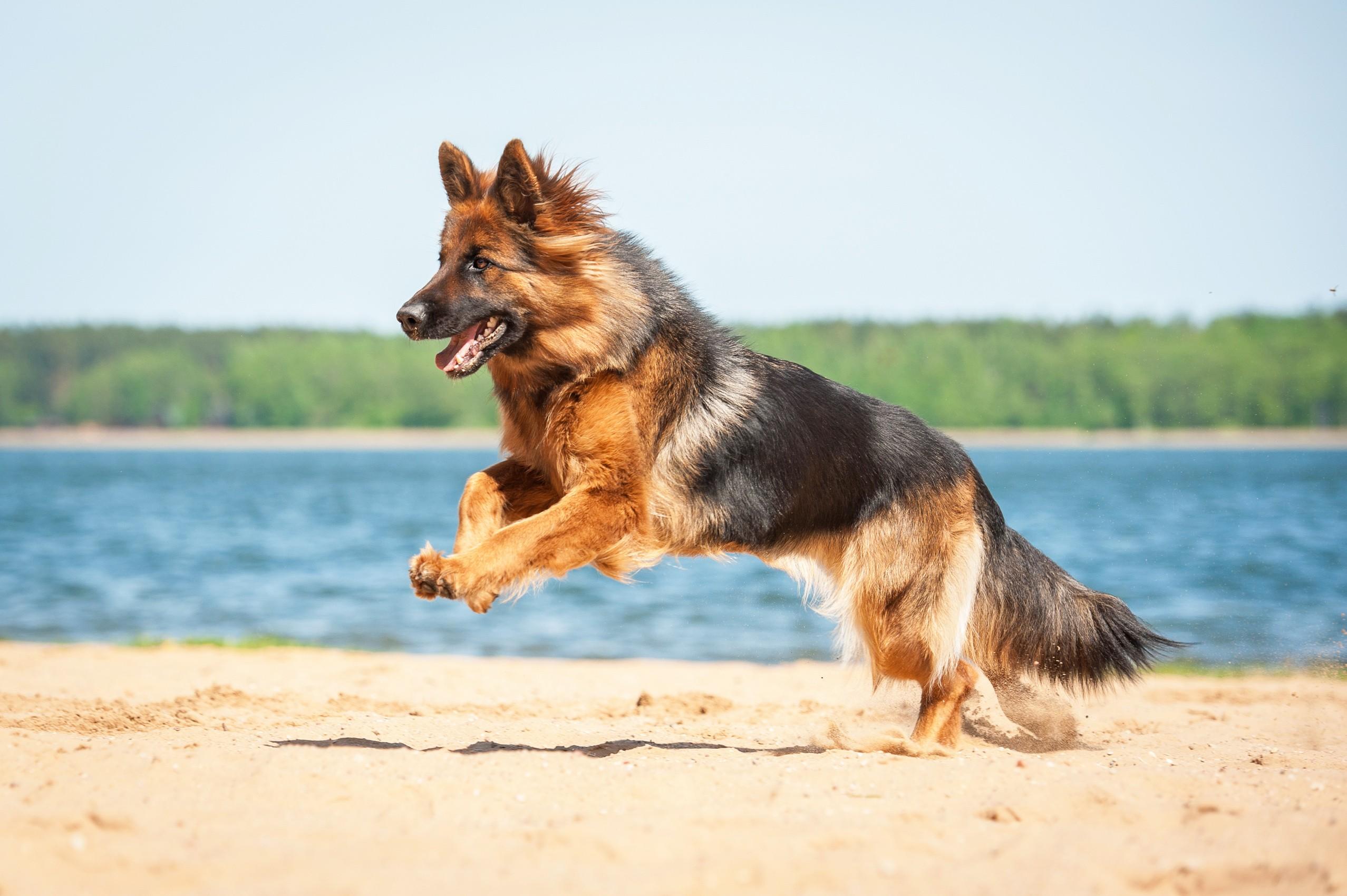 Berger allemand qui saute sur la plage