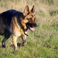 Berger Allemand qui court sur de l'herbe