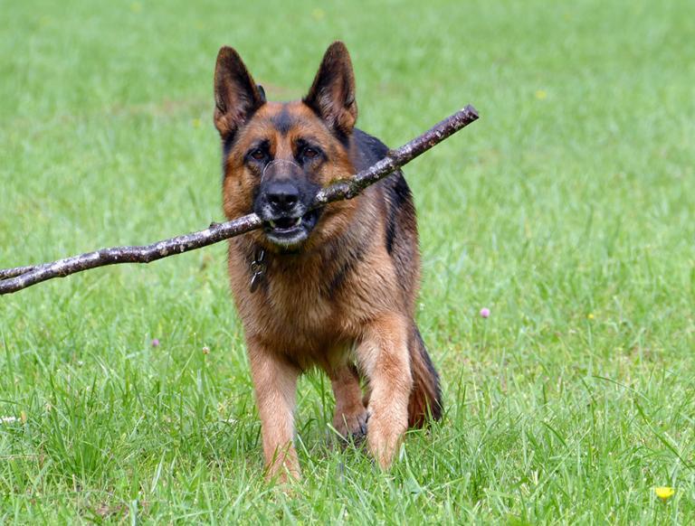 Berger Allemand qui joue avec un gros bâton