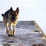Berger Allemand qui marche sur un ponton