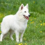 Berger Blanc Suisses dans la nature