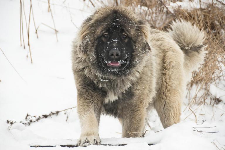 Berger du Caucase à la neige