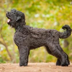 Black Russian Terrier en forêt
