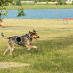 Bluetick Coonhound qui court au bort d'un lac