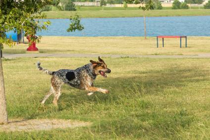 Bluetick Coonhound qui court au bort d'un lac