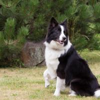 Border Collie assis dans la nature