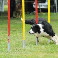 Border collie qui fait de l'agility