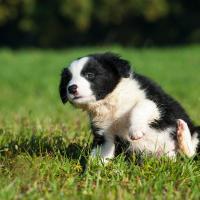 Chiot Border collie dans l'herbe