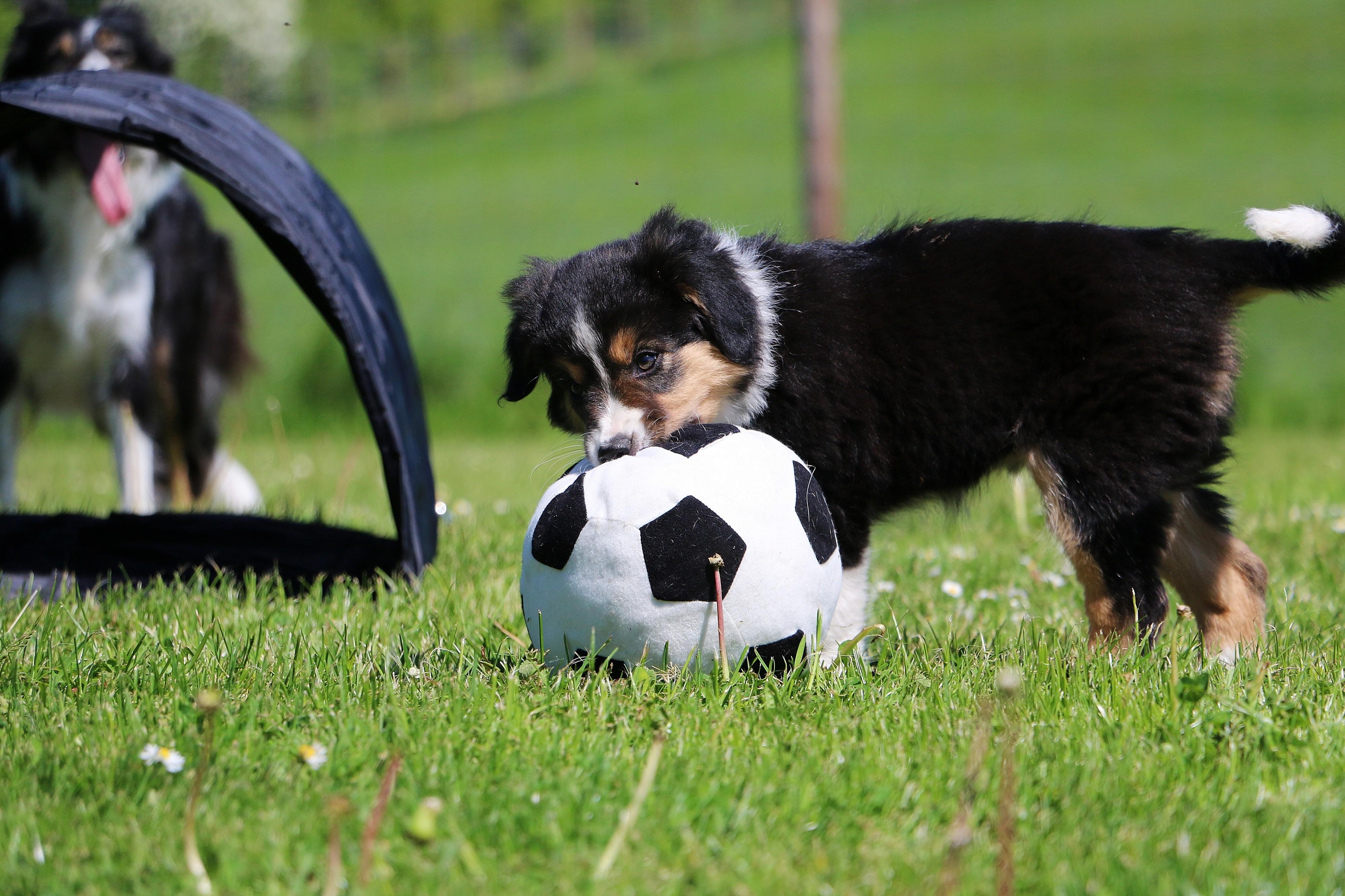 Chiot Border Collie avec son ballon