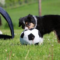 Chiot Border Collie avec son ballon