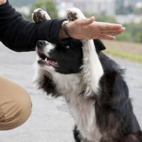 Border Collie qui apprend des tours
