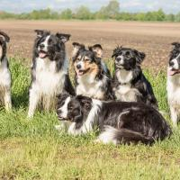 Meute de Border Collie