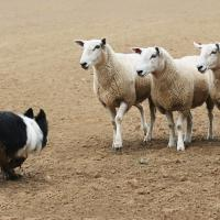 Border Collie qui affronte 3 moutons