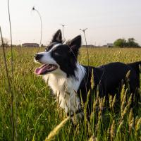 Border Collie dans la nature