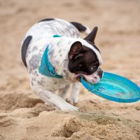 Bouledogue Français avec un frisbee sur la plage