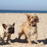 Bouledogue Français à la plage