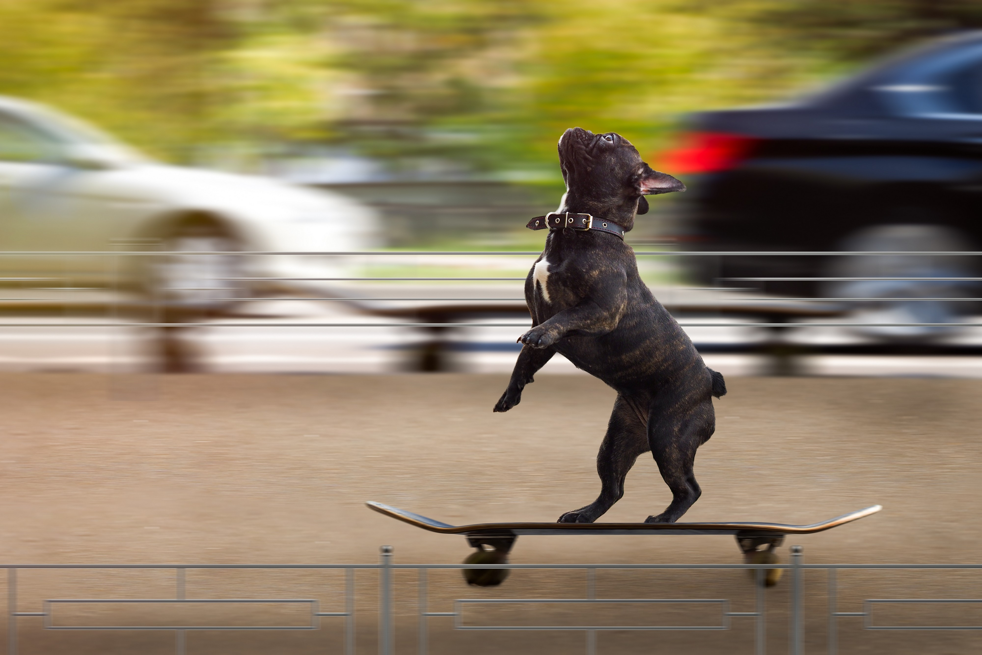 Bouledogue Français sur un skateboard