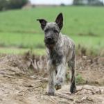 Bouvier des Ardennes gris qui marche dans la nature