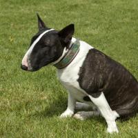 Bull Terrier noir et blanc assis dans l'herbe