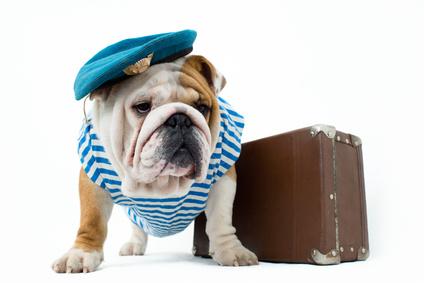 Bulldog Anglais qui part en vacances